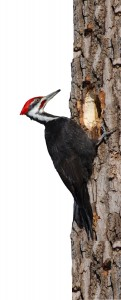 woodpecker clipping